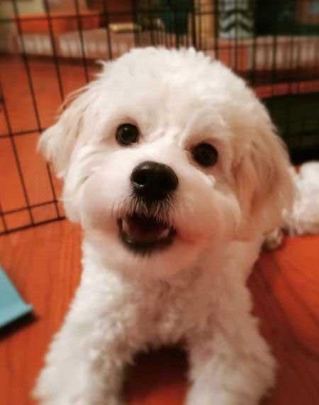 little white cockapoo puppy