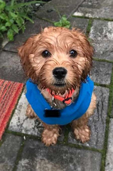 Cockapoo that is wet from the rain