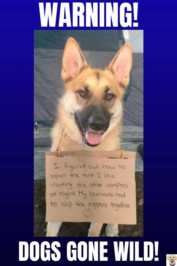 Funny Dog Shaming Picture of a German Shepherd that is stalking a campsite
