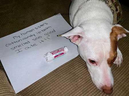 Dog ate some cotton candy lip balm