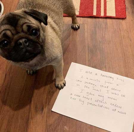 Pug getting dog shamed