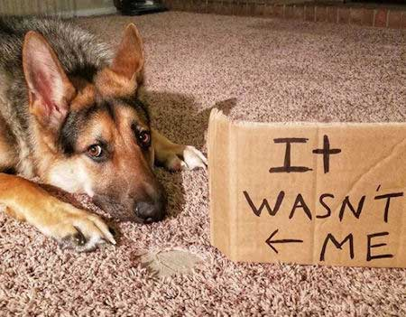 Awesome GSD Shaming picture