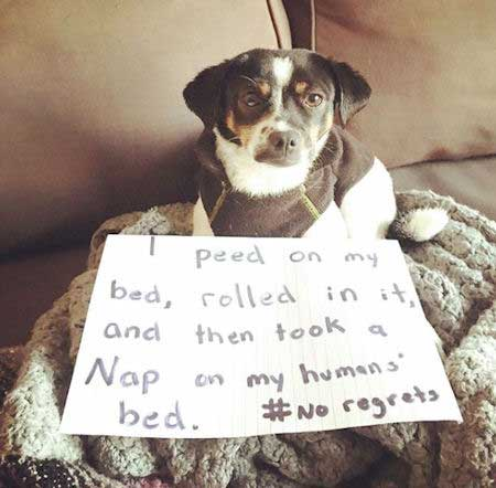 Dog getting shamed for spreading pee all over the house