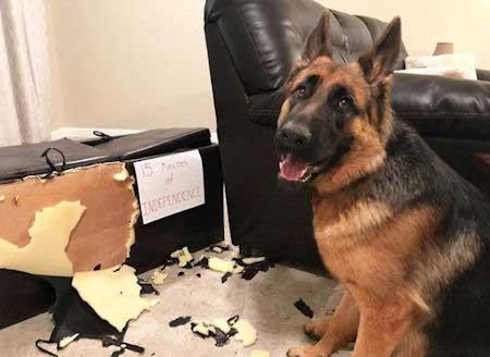 GSD puppy shaming