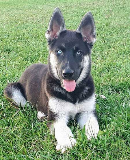 cool looking Gerberian Shepsky laying on the grass