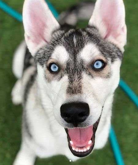 Awesome Gerberian Shepsky with blue eyes