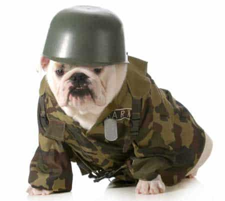 Bulldog in Army Clothes