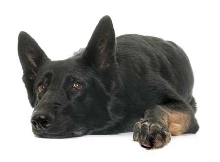 Black GSD laying on the floor