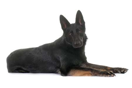 Black GSD laying on the floor with head up