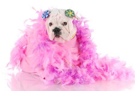 girl bulldog dressed in feathers