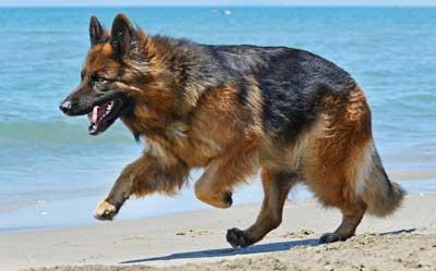 GSD running down the beach