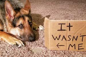 Funny Dog Shaming of a German Shepherd getting shamed for eating the rug