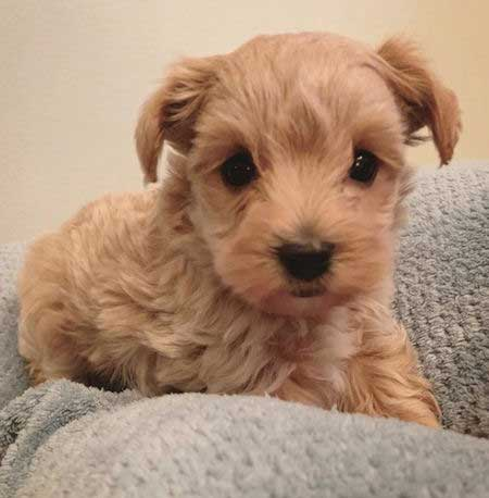 gold and brown Yorkipoo
