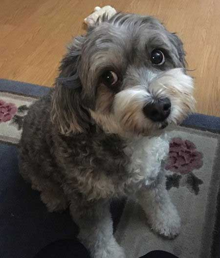 White and Silver Aussiedoodle