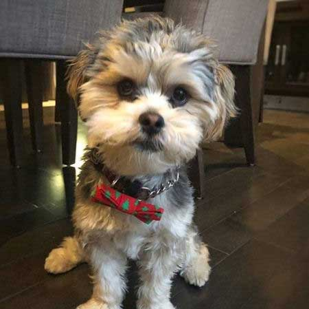 white and gray Morkie