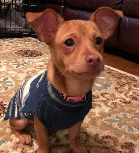 A Chiweenie with a sweater on.