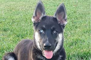 Gerberian Shepsky laying on the grass