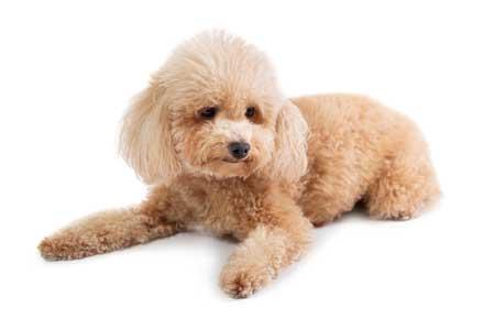 poodle dog cream