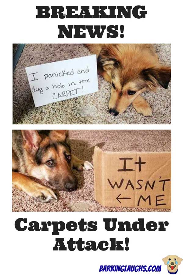 Funny Dog Shaming Pictures of two cute dogs that ate the rug