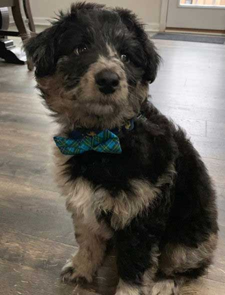 Aussie doodle in a bow tie