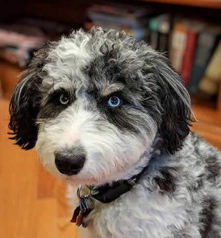 Cool black and white aussiedoodle with blue eyes