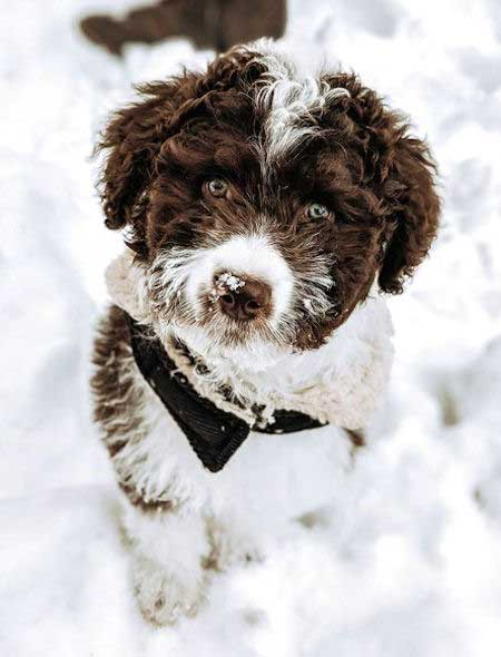 brown and white aussiedoodle in the snow