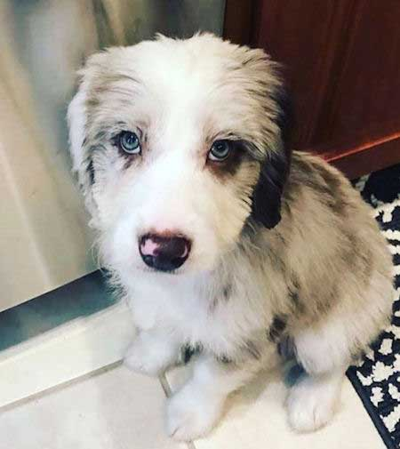 Aussiedoodle with blue eyes