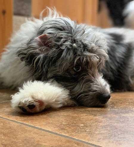 Aussiedoodle on the floor