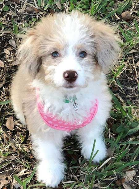 Tan and white aussie doodle