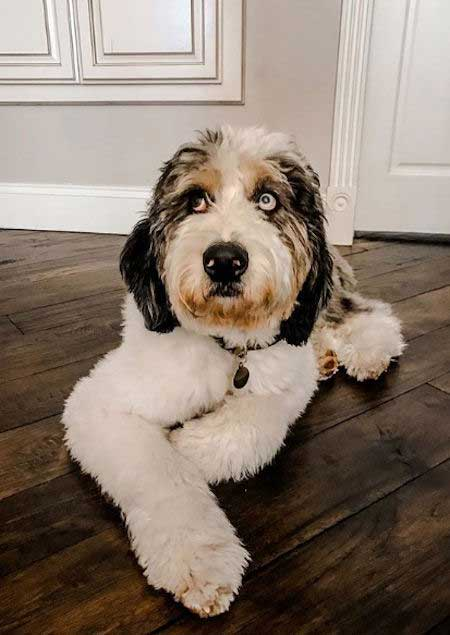 Aussiedoodle laying on a wood floor