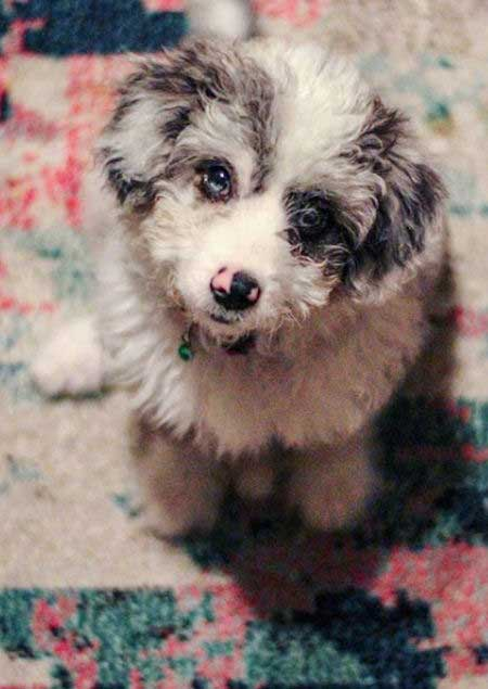 Cute aussiedoodle with blue eyes and pink and black nose