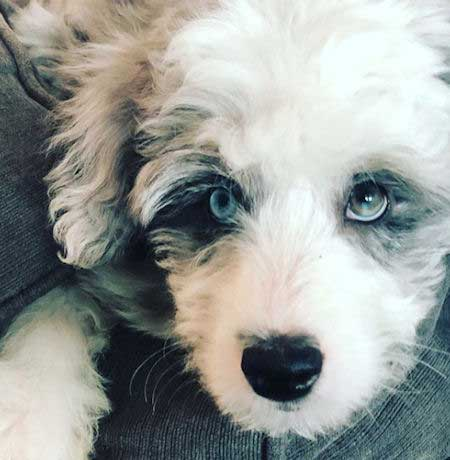 Cute aussiedoodle with blue and green eyes