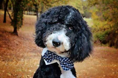 Awesome picture of a black and white aussiedoodle in a bowtie