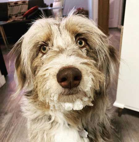 Aussiedoodle with snow on their face