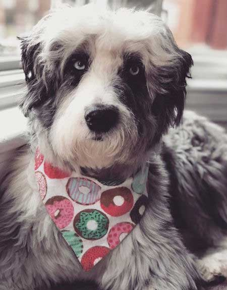Aussiedoodle in a donuts handkerchief