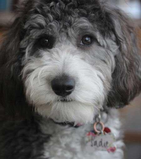 Sadie the Aussiedoodle