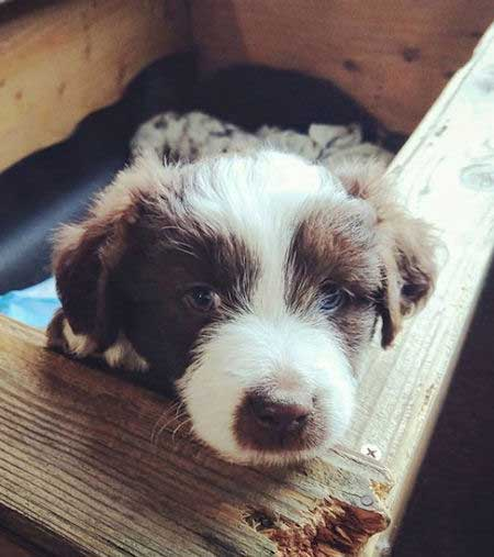 little brown and white aussiedoodle puppy