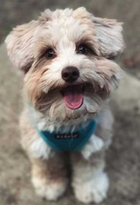 cute aussiedoodle with their mouth open