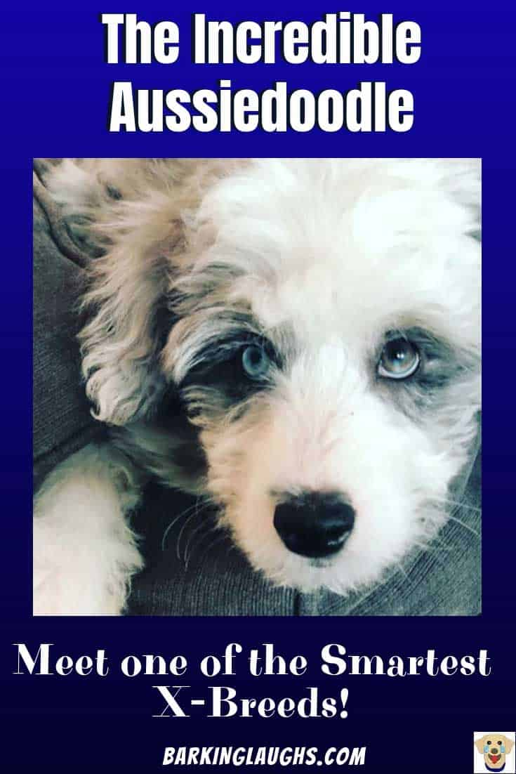 Awesome dog picture of an Aussiedoodle or Aussiepoo with blue eyes