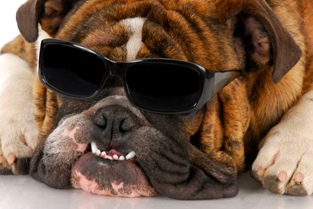dog laying down with sunglasses