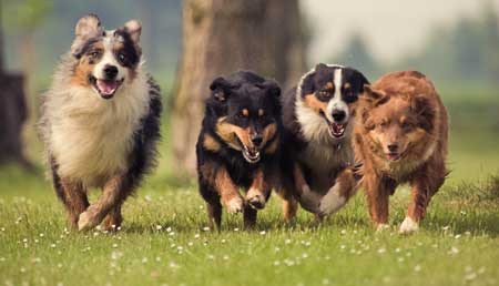 pack of dogs running