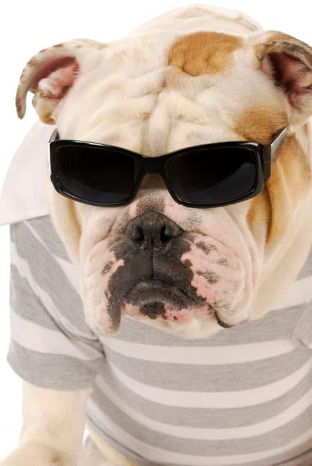 cool dog in sun glasses