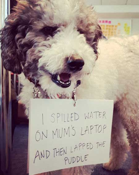 Another laptop destroying pooch