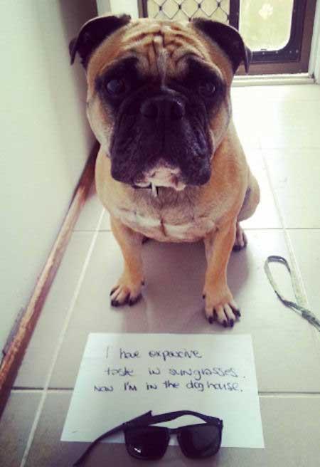 Bulldog getting shamed for eating sunglasses