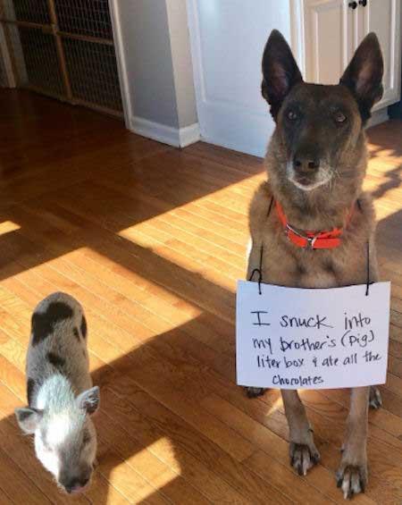 A dog getting shamed for eating pig poop