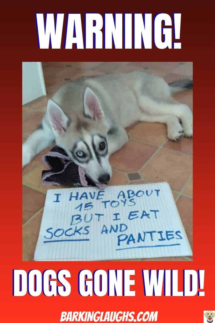 Funny Dog Pictures highlighting dog shaming. Funny Husky is getting shamed for eating socks and underwear.