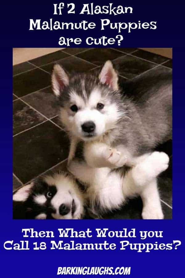 2 cute Malamute Puppies playing on the floor.