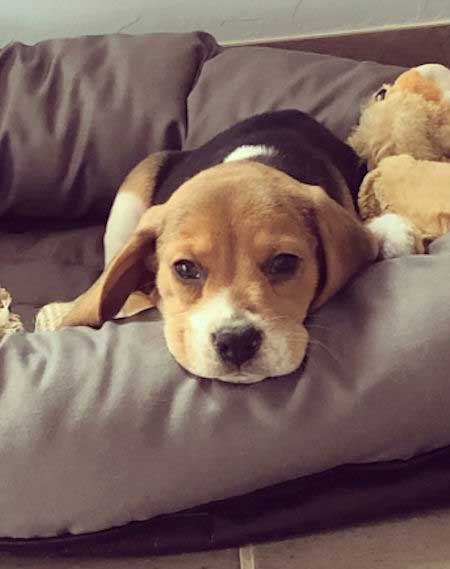 Pacci the Beagle Pup chilling on a dog bed