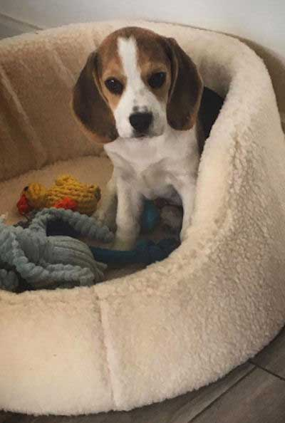 Little Beagle Puppy in it's dog bed
