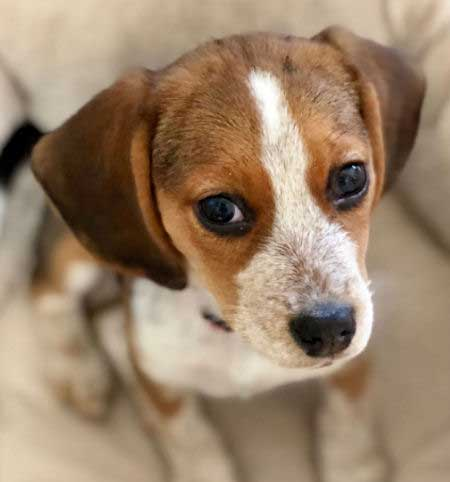 Cute little Beagle puppy